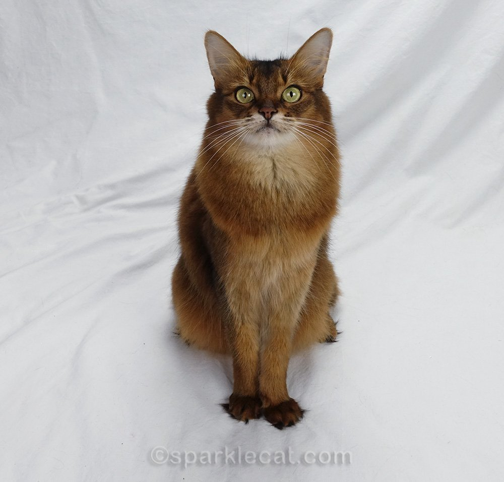 somali cat looking wide eyed