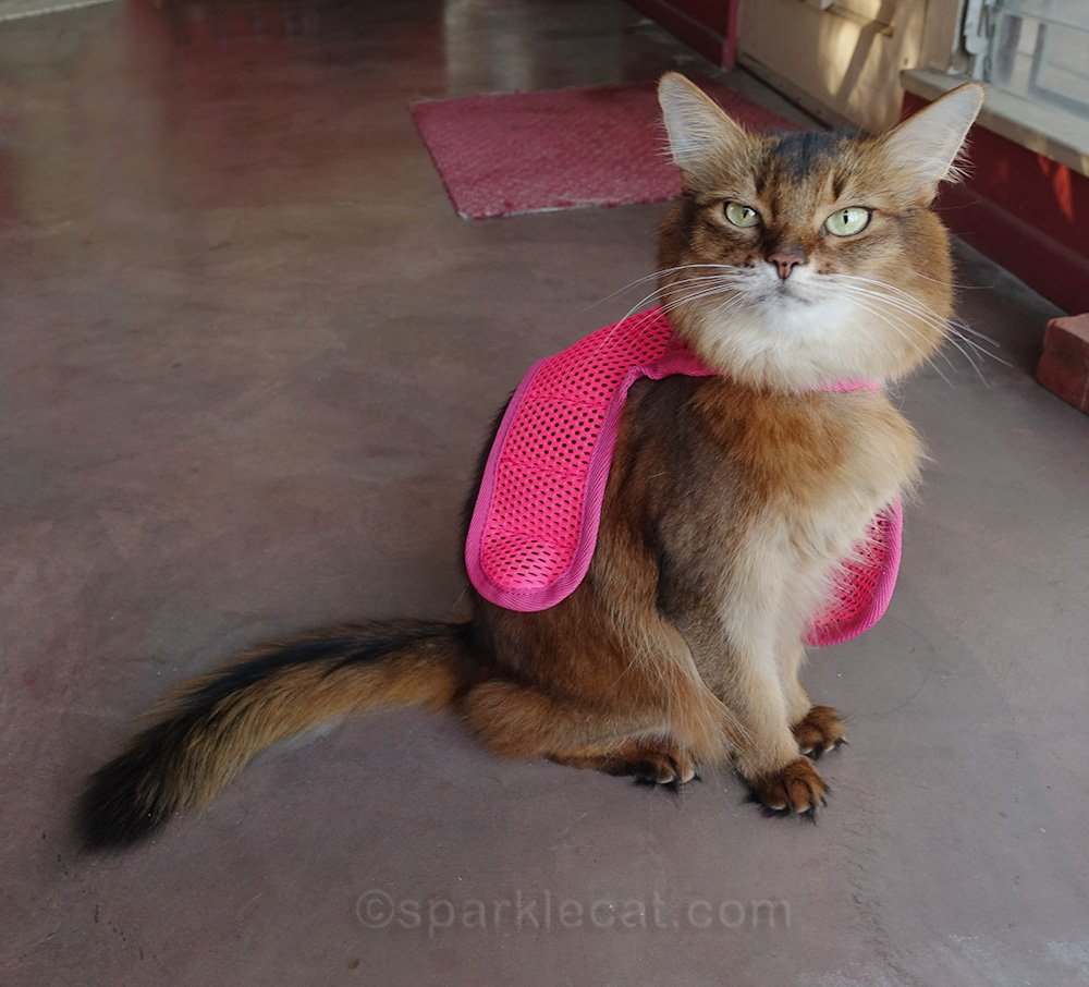 somali cat with harness draped over her back