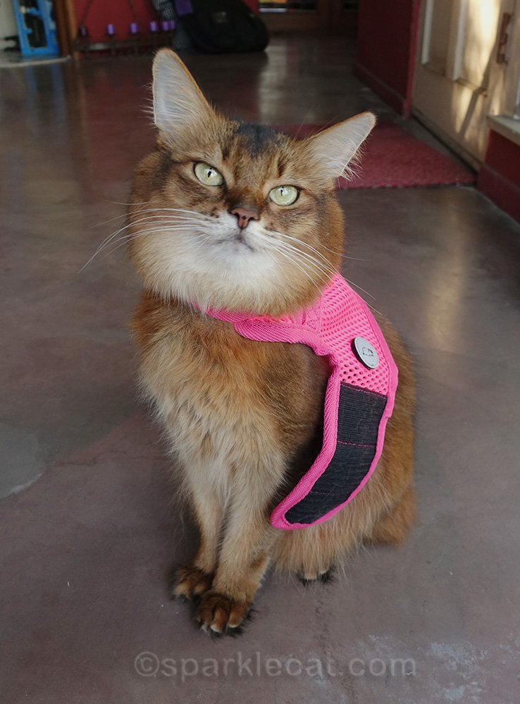 somali cat wearing harness around neck