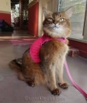 Somali cat proudly wearing harness and leash