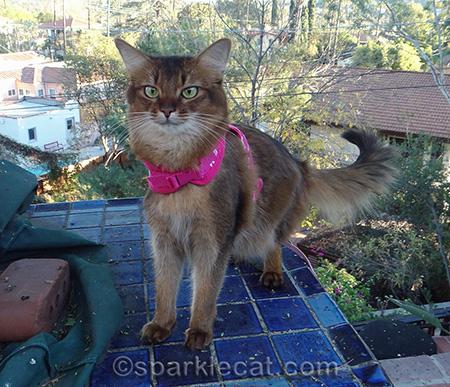somali cat, blue tile, cat on leash, cat harness