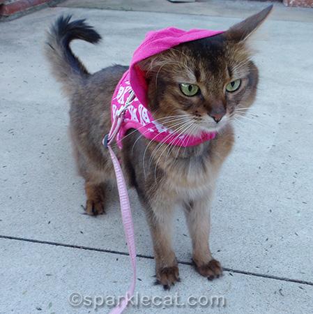 cat harness, cat hoodie, somali cat