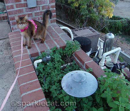 somali cat, catnip, catnip garden, cat harness