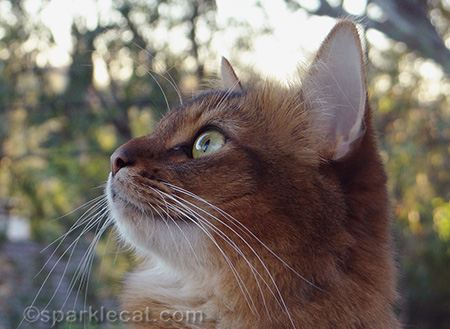 somali cat, cat close up, cat profile