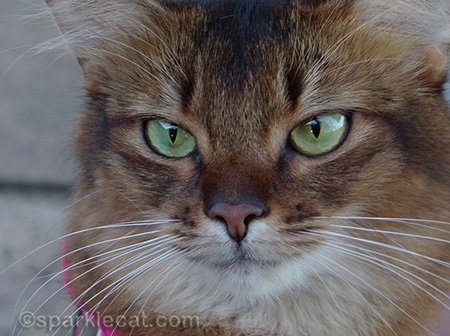 somali cat, tight close up of cat