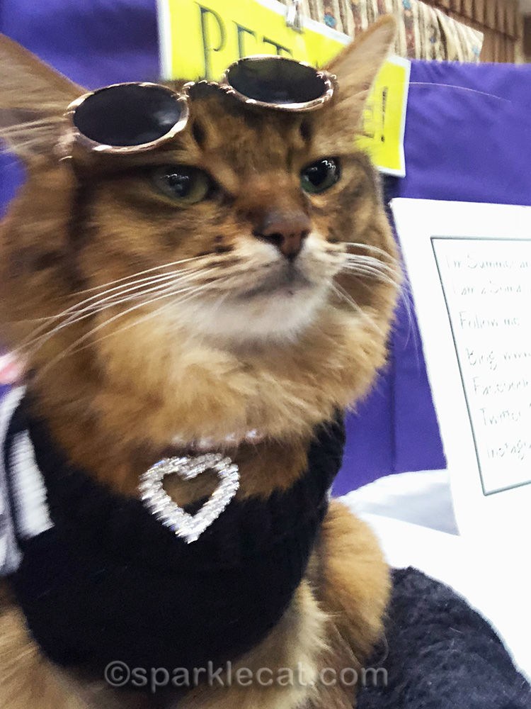 somali cat with sunglasses lifted to adjust camera for selfie
