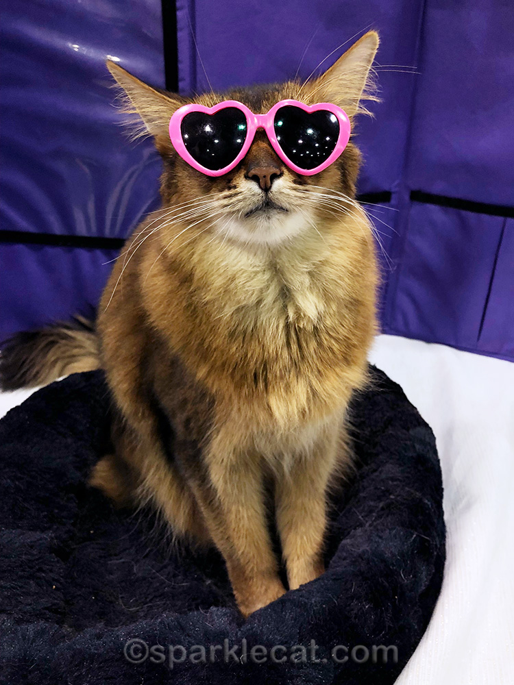 somali cat with pink heart-shaped sunglasses