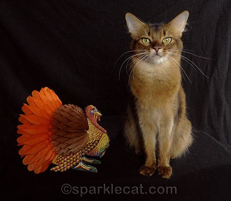 somali cat, turkey, cat thanksgiving, thanksgiving kitty