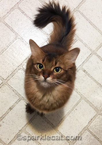 somali cat waiting for leftover turkey