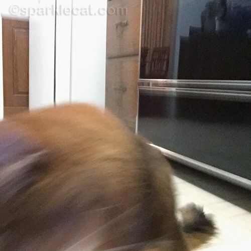 somali cat dropping iphone
