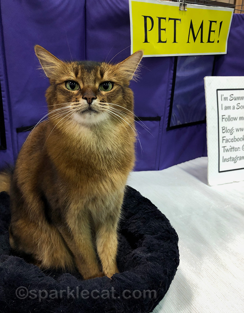 somali cat having fun time at the cat show