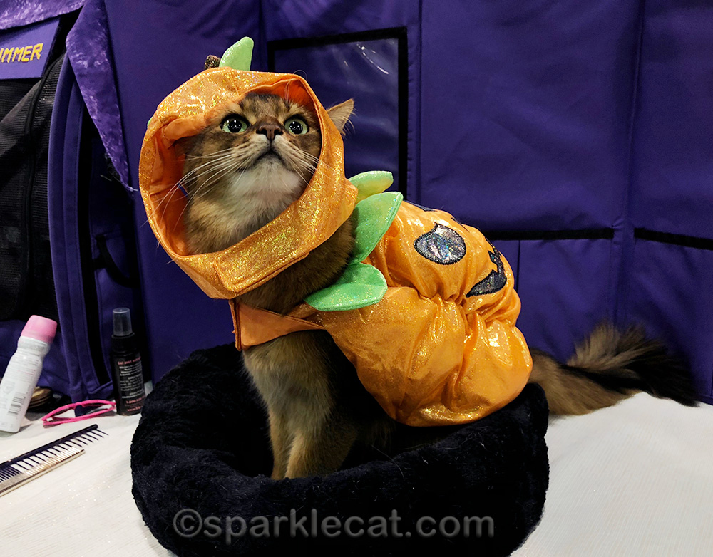 somali cat in ill-fitting pumpkin costume