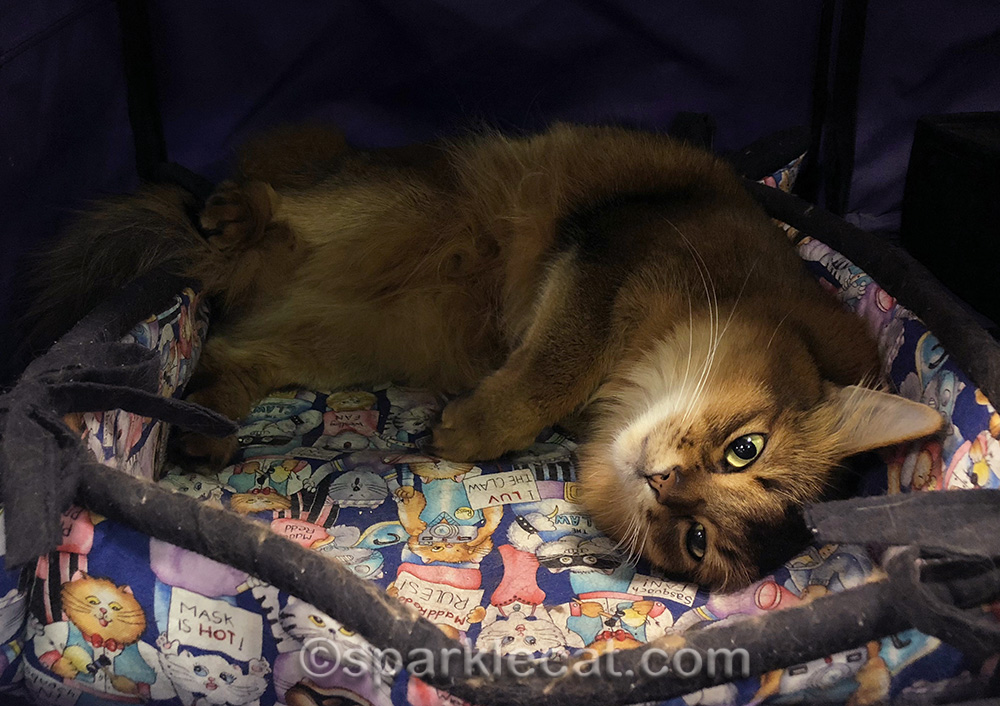 somali cat relaxing in show enclosure at cat show