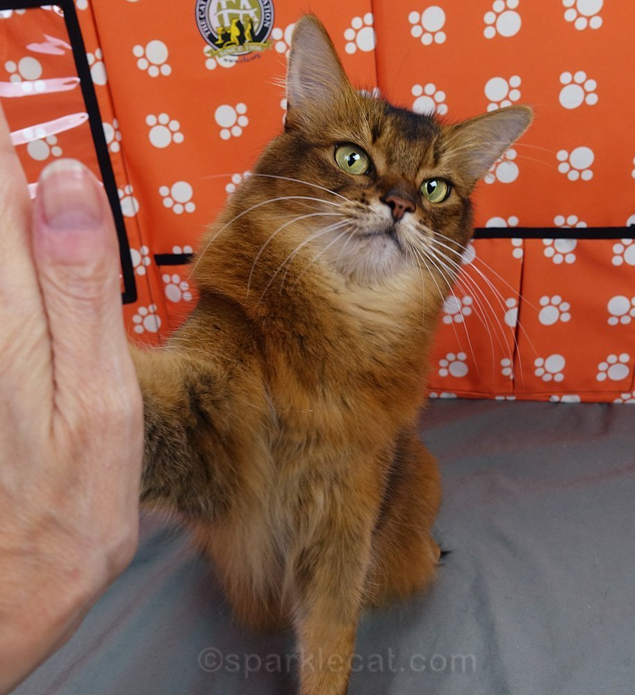 somali cat giving a dubious High Five
