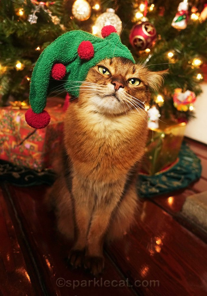 somali cat in elf hat for holiday gift shop