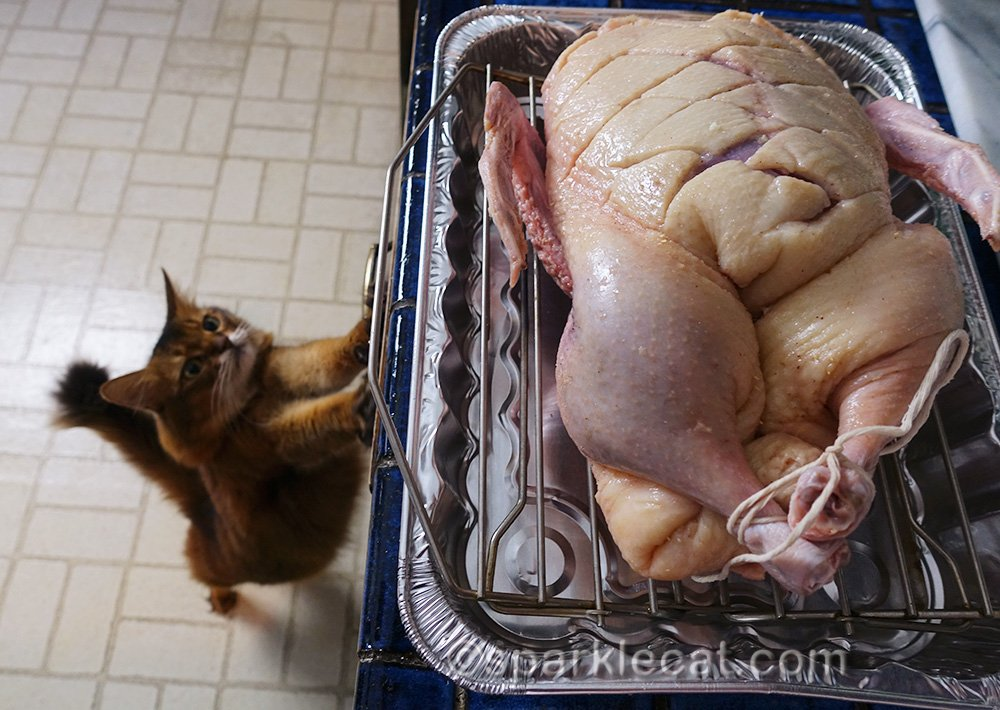 Somali cat reaching for duck being prepared for oven