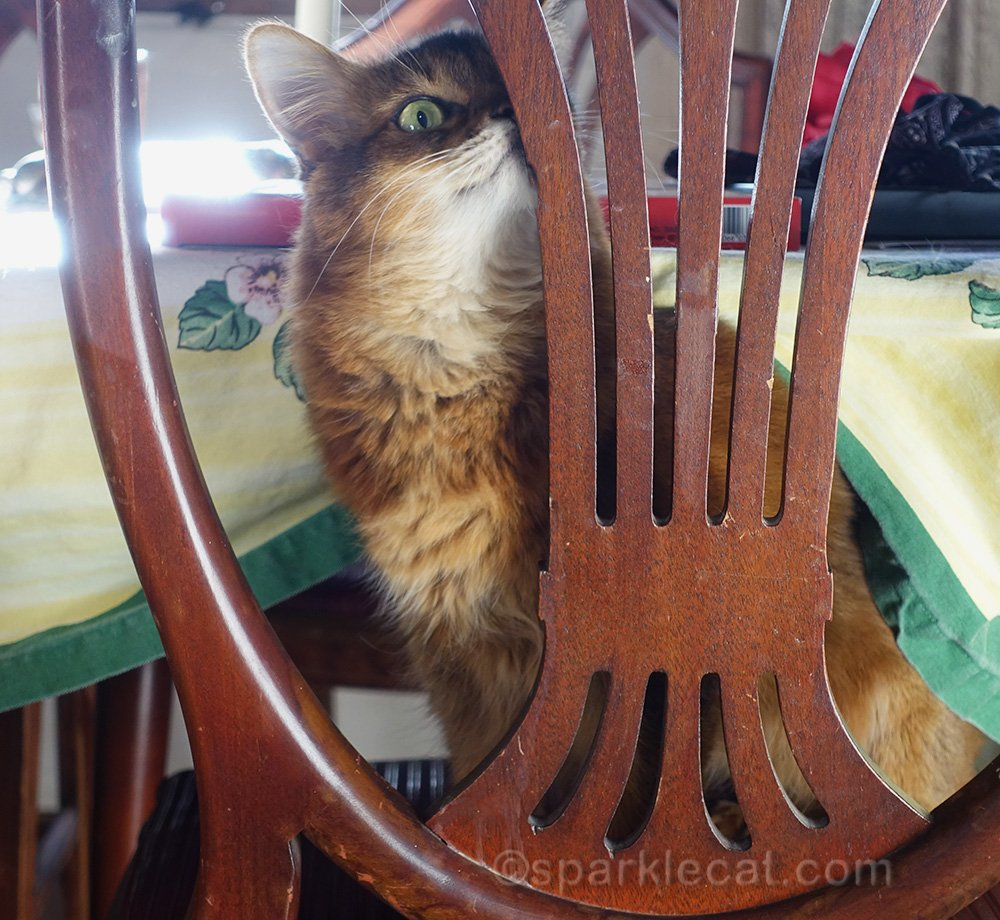 somali cat hiding her duck face behind the back of a dining chair