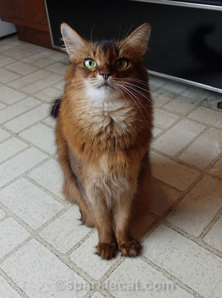 somali cat waiting for a taste of duck