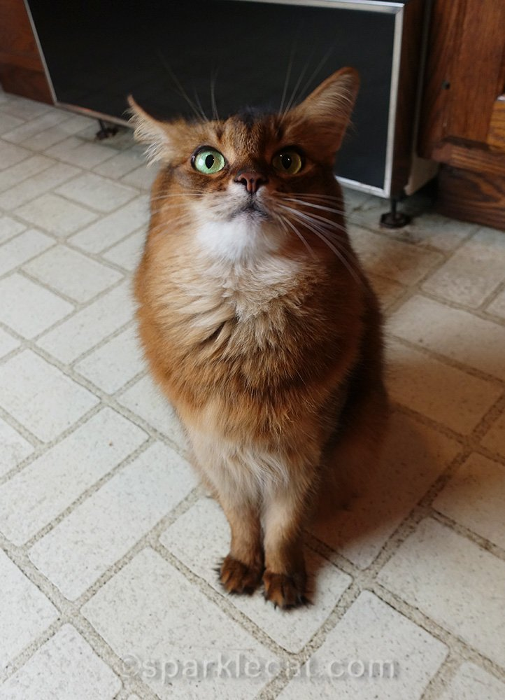 somali cat impatiently waiting for taste of roast duck
