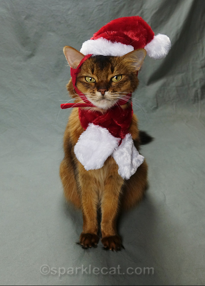 another awkward pose from somali cat wearing santa hat