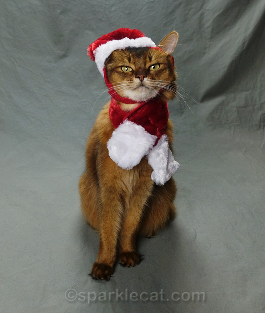somali cat still posing in santa hat