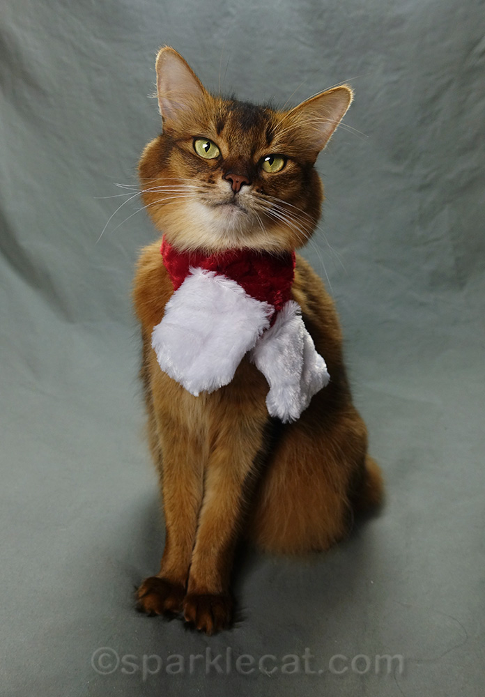 somali cat posing in holiday scarf