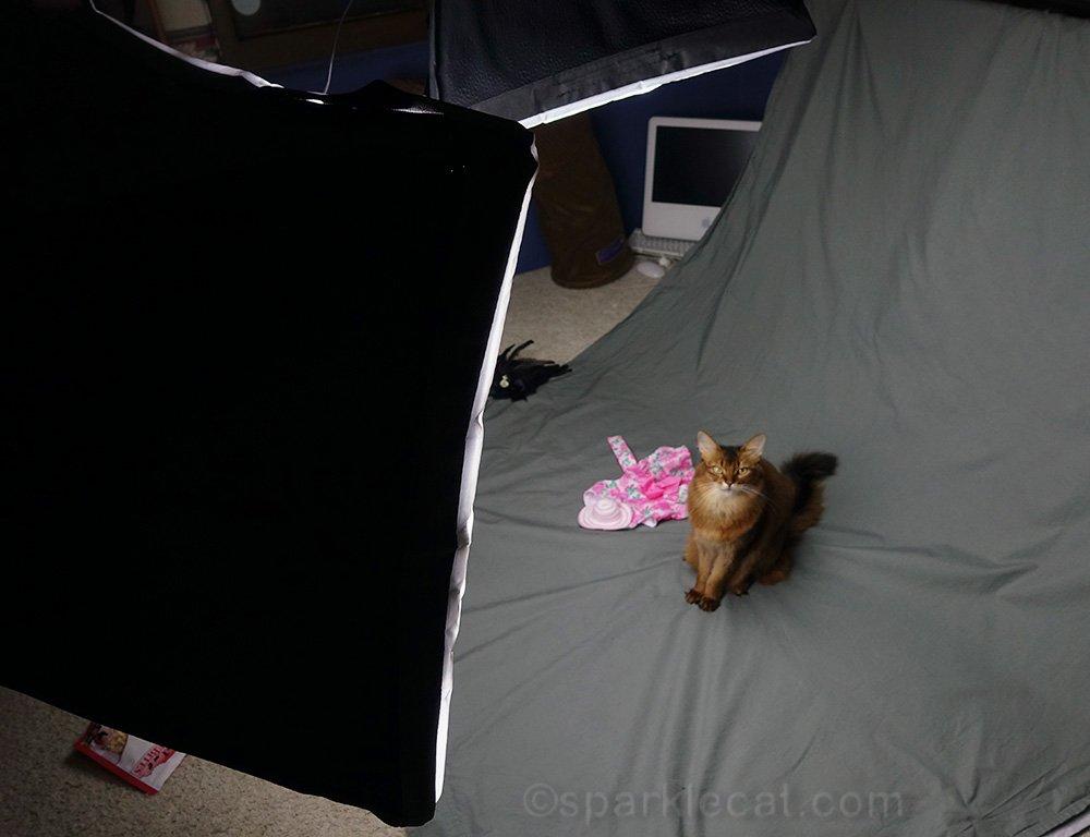 somali cat in her own photo studio