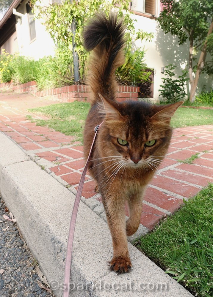 somali cat on harness and leash