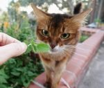 somali cat checking out fresh nip