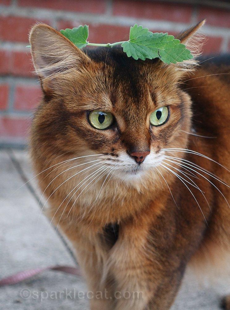 somali cat loses track of catnip sprig