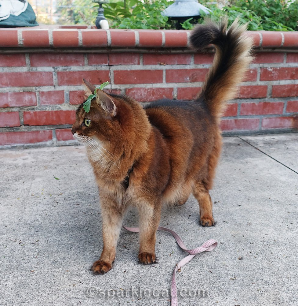 somali cat looking for catnip, which is on her head
