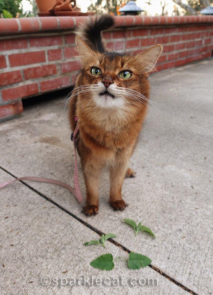 somali cat stoned from the nip
