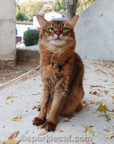 how a somali cat gets ready for photo shoots outside