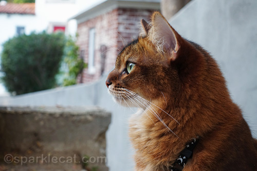 profile shot of somali cat outside