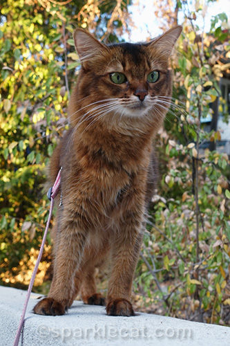 somali cat posing on wall