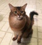 somali cat impatient for dinner