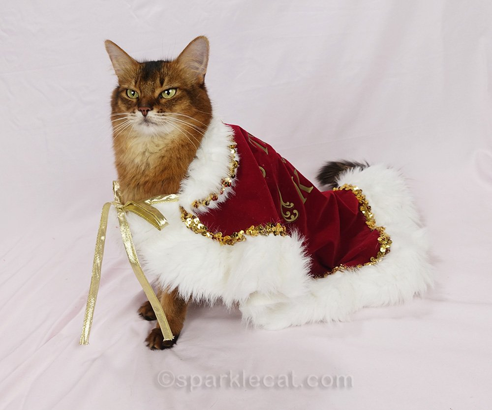 somali cat wearing way too big cape