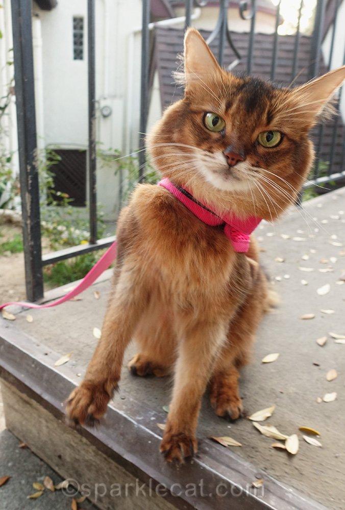 somali cat in awkward pose