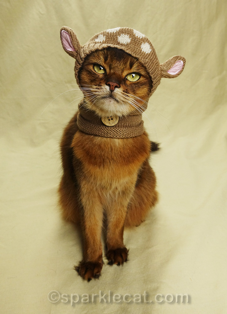 somali cat wearing awful knit headgear