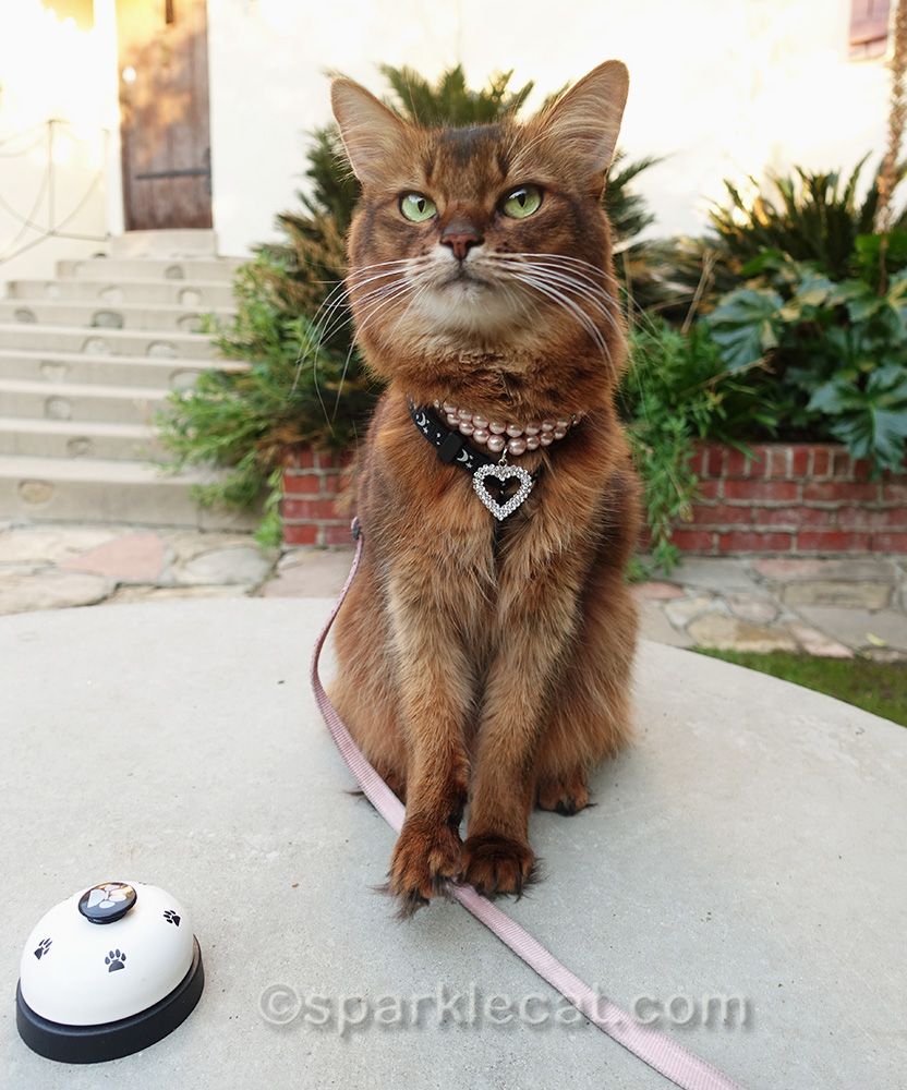 somali cat doing bell practice outside