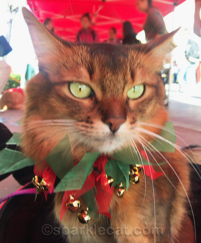 therapy cat with holiday collar on at Cal State L.A.