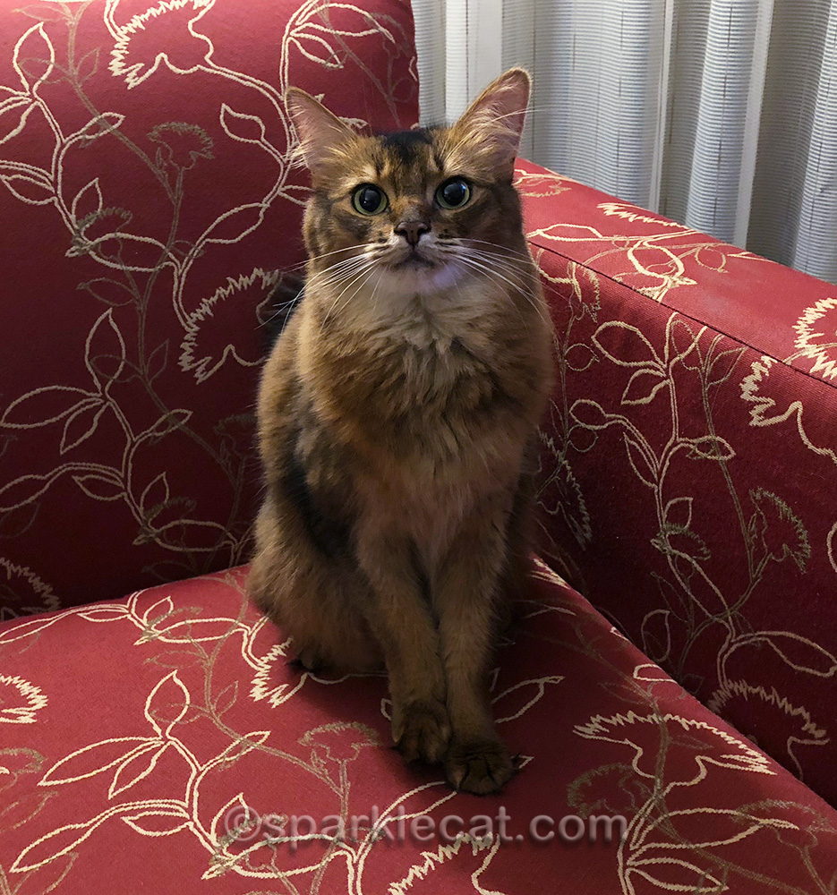 somali cat in hotel chair