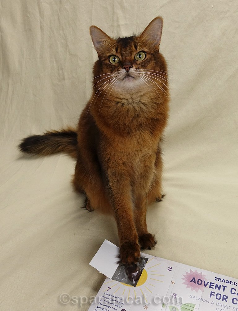 somali cat with advent calendar open window
