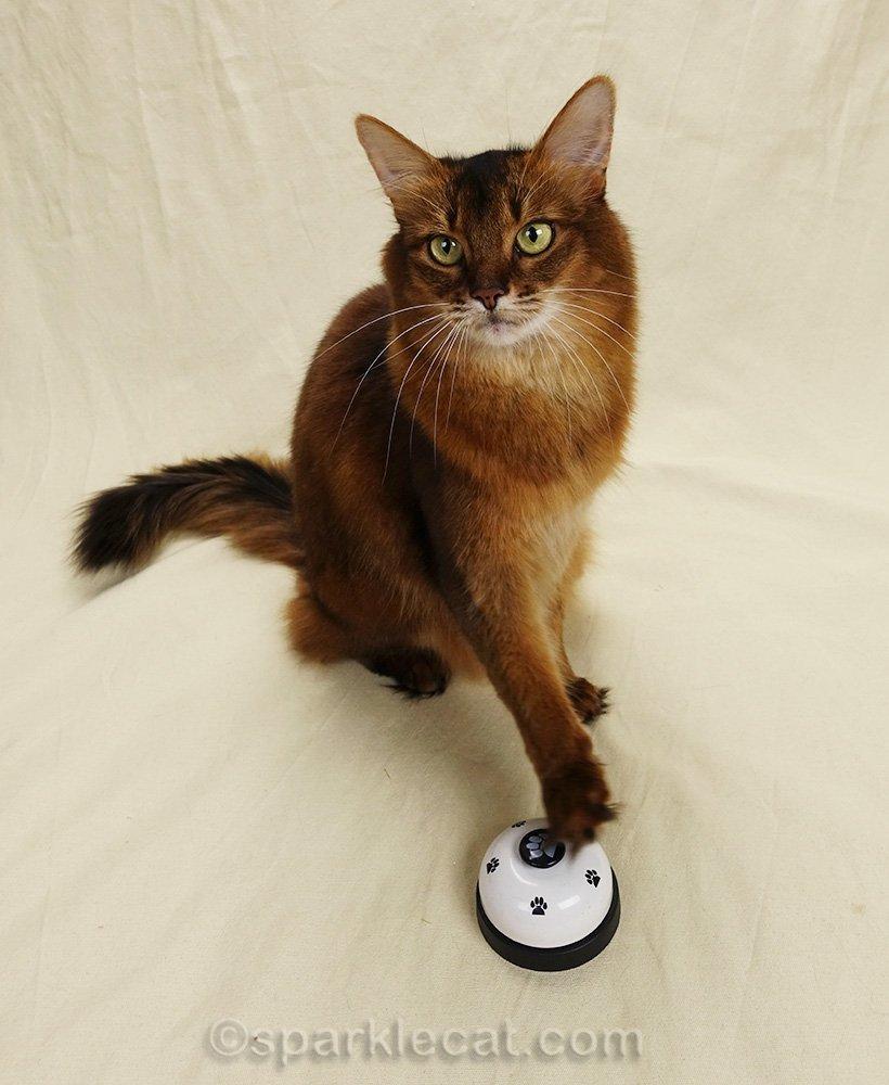 somali cat ringing bell for treat