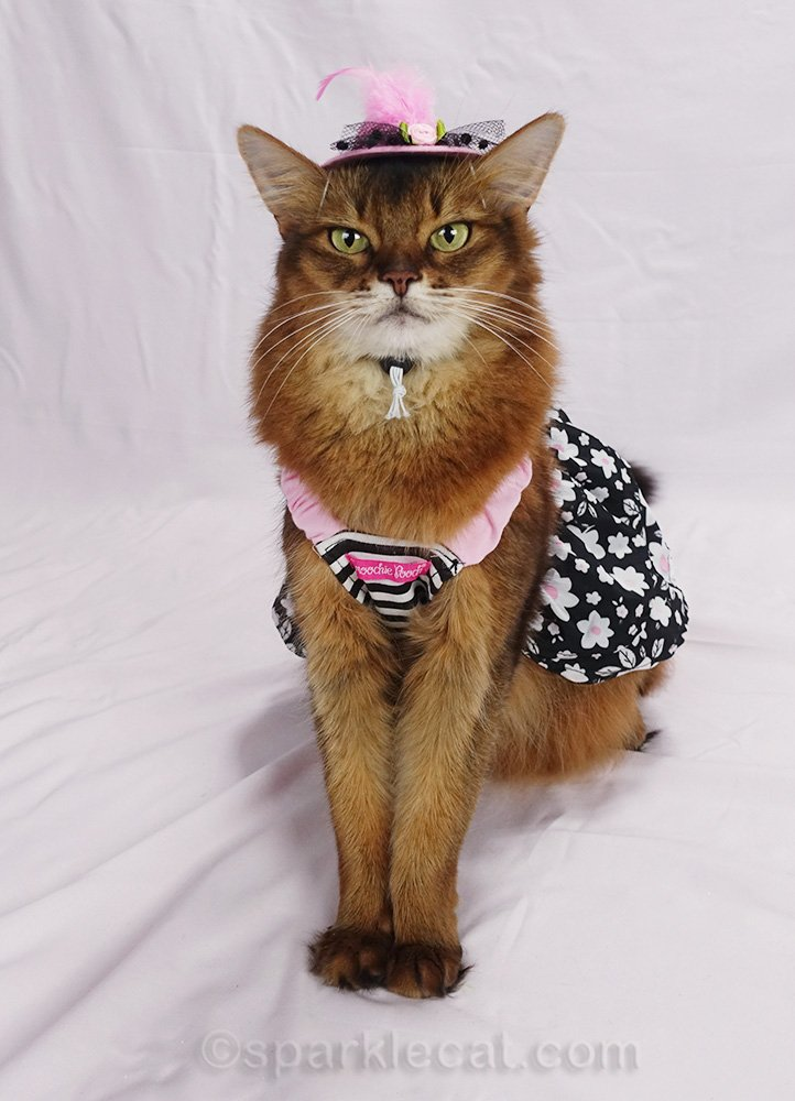 somali cat wearing cute new hat with pink and black flower dress