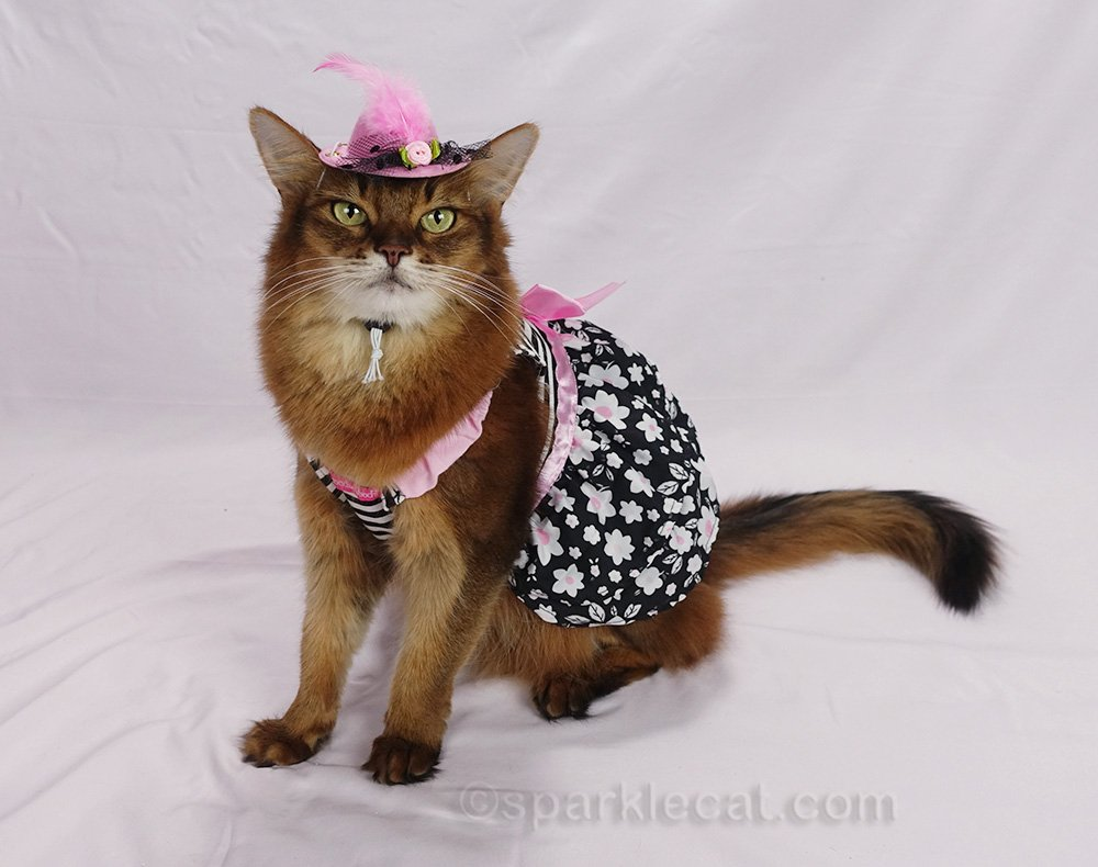 side view of Somali cat wearing cute pink and black dress and hat