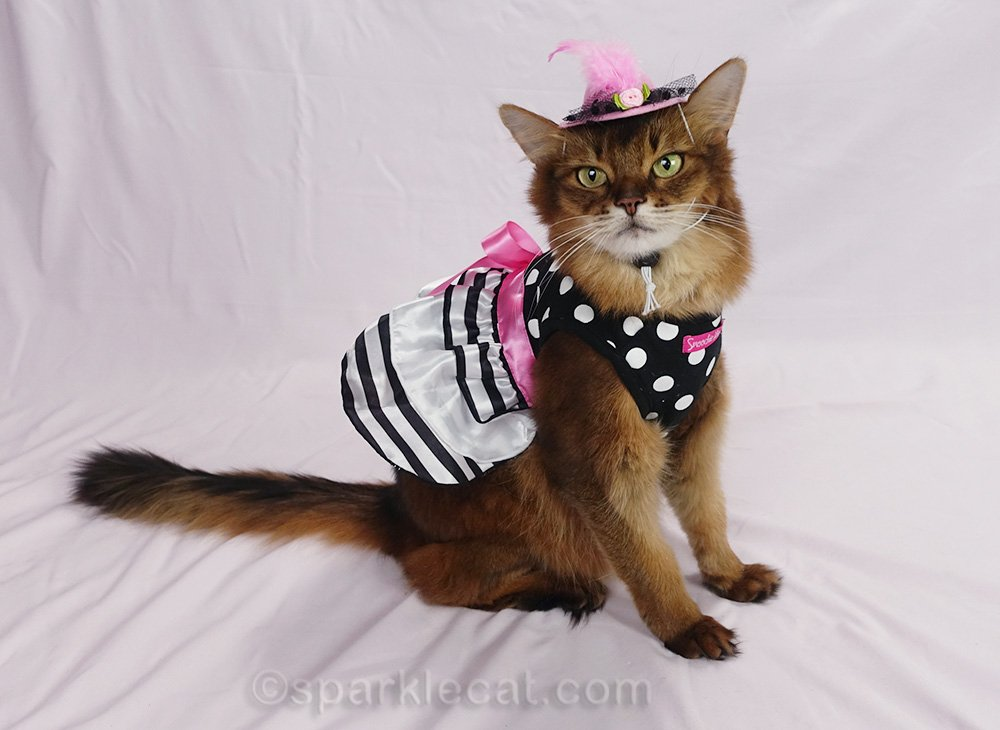 somali cat with pink white and black striped dress and hat