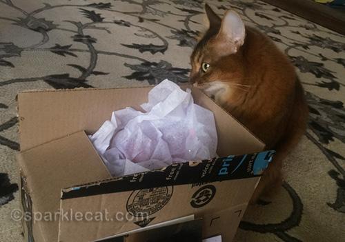 somali cat looks like she is kissing a cardboard box
