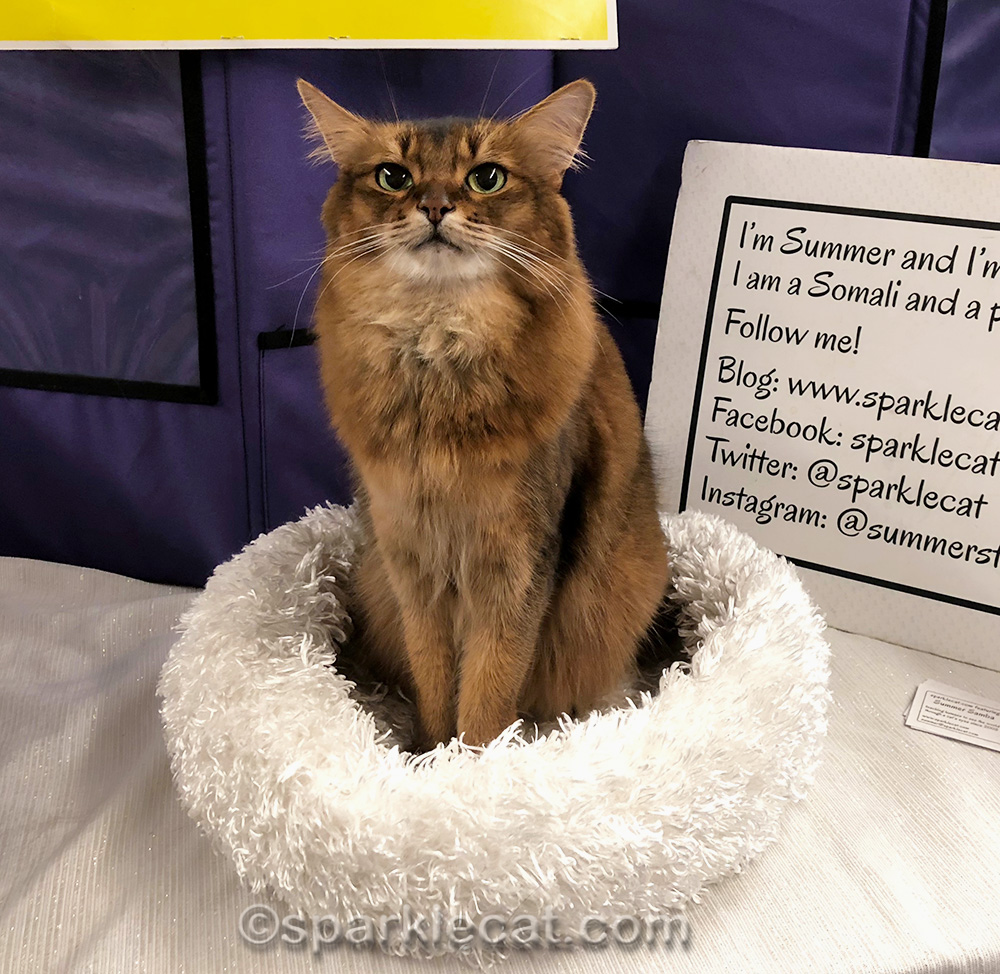 somali cat at portland cat show