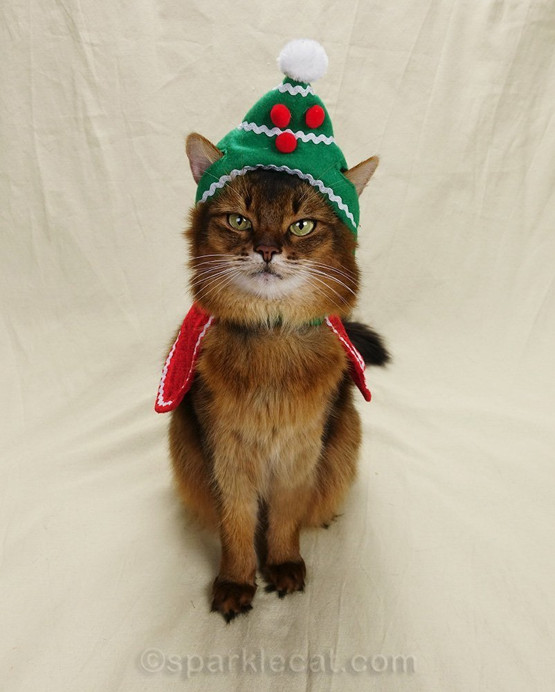 somali cat with holiday hat